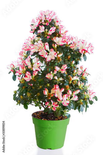 Papiers peints Azalea Blossoming plant of azalea in green flowerpot isolated on white