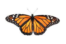 Western Tiger Swallowtail Butt...