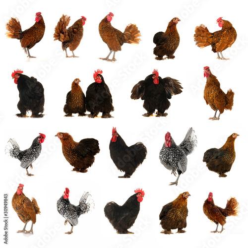 Foto cock