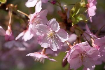 Obraz na Szkle白野江植物公園の河津桜