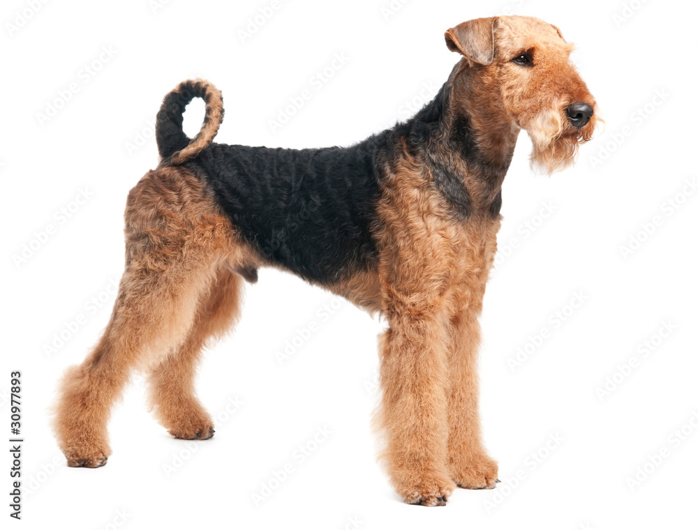 Fototapety, obrazy: Airedale Terrier dog isolated
