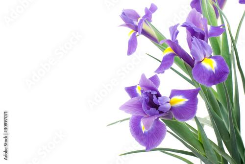 Spoed Foto op Canvas Iris オランダアイリスの花