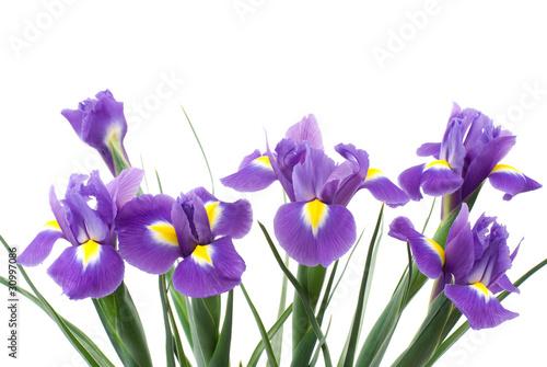 Deurstickers Iris オランダアイリスの花