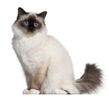Birman Cat, 11 Months Old, Sitting In Front Of White Background
