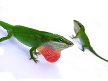 Lizard Displaying Red Throat