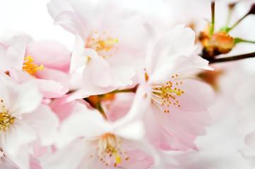 Panel Szklany Podświetlane Egzotyczne Sakura