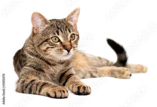 Cuadros en Lienzo Tabby cat lying on white