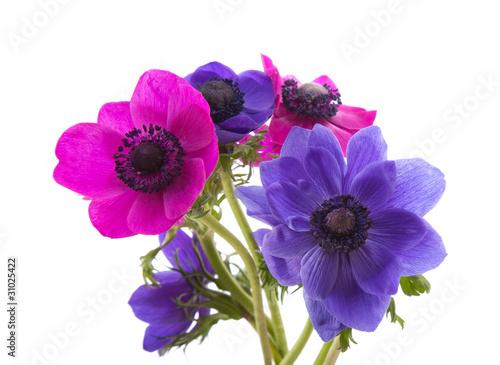 Tableau sur Toile anemone