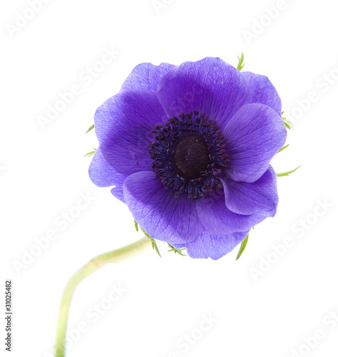 anemone Fototapete