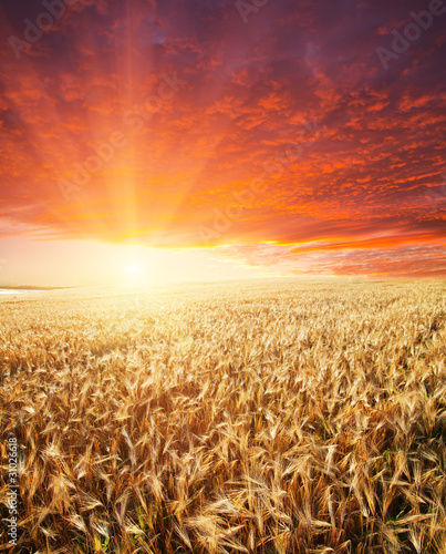 Foto op Plexiglas Crimson golden agricultural field and sunset