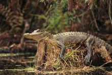 Alligator Basking On A Stump -...