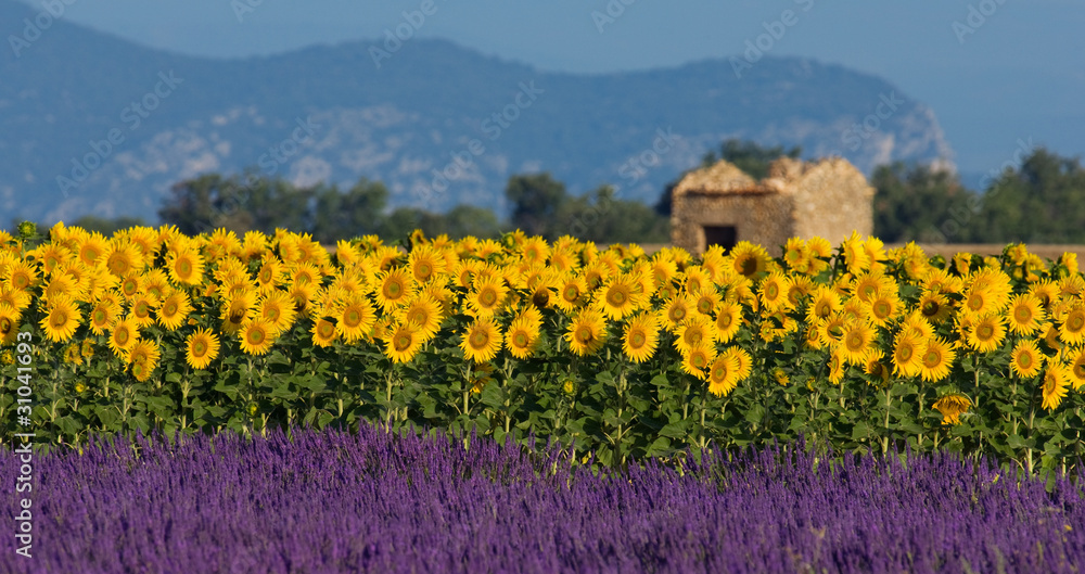 Fototapety, obrazy: Lavender and sunflower setting in Provence, France