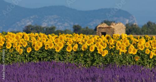 Obraz premium Lawendowe i słonecznikowe ustawienie w Provence, Francja