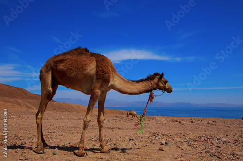 Poster Chameau Camel beside the Red Sea