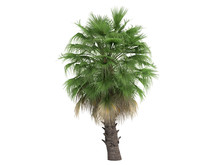 Desert Fan Palm (Washingtonia ...