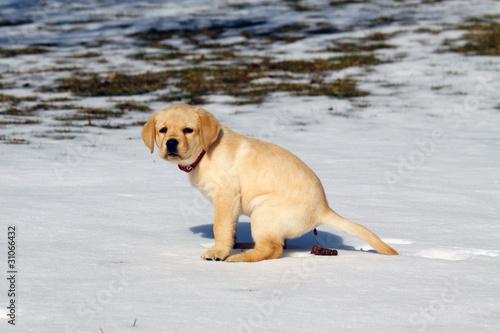 Photo  Pooping dog