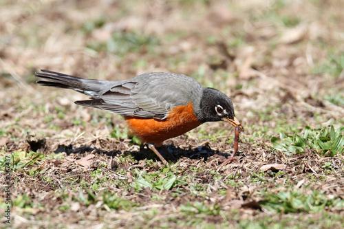 Sticker - American Robin (Turdus migratorius)