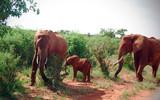 Fototapeta Sawanna - Rodzina słoni