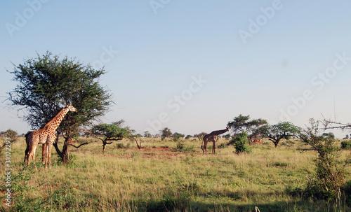 Żyrafy o poranku