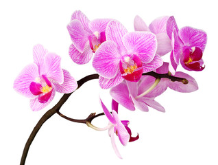 Fototapeta isolated orchid