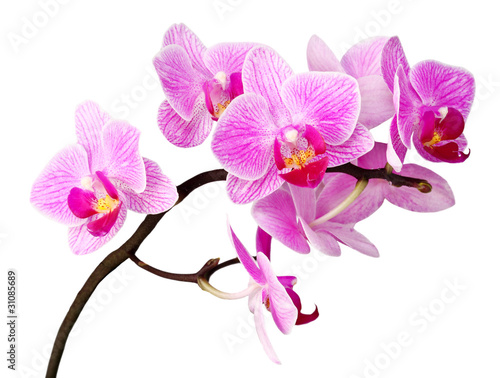 isolated orchid Canvas Print