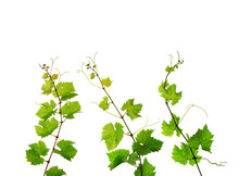 Three Isolated Branches Of Fresh Grapevine
