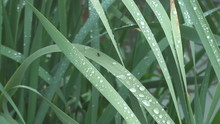 Raindrops On Leaves Of Cattail...