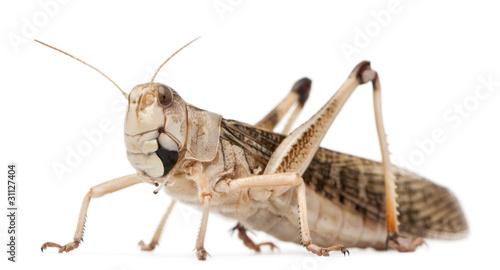 Fotomural Migratory locust, Locusta migratoria