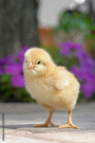 Photo chick