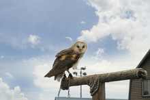 Owl At Top Of Grouse Mountain, Vancouver,British Columbia Canada