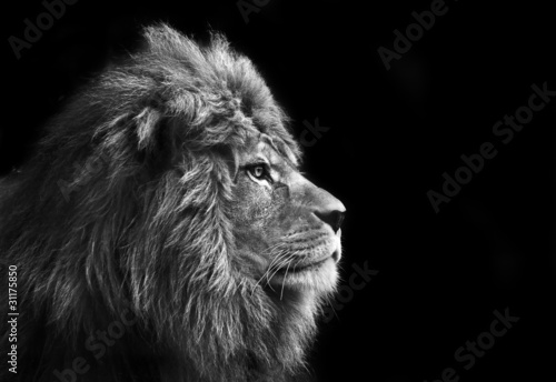 Poster Lion Stunning facial portrait of male lion on black background in bla