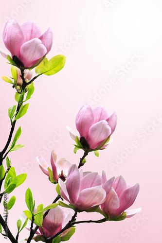 Foto op Plexiglas Magnolia Spring magnolia tree blossoms on pink background.