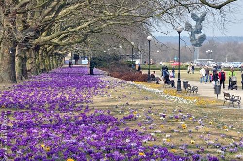 Photo Stands Crocuses Wiosna w Szczecinie