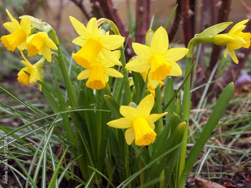 Garden Poster Narcissus Yellow narcissi