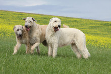 Three Irish Wolfhound Playing ...