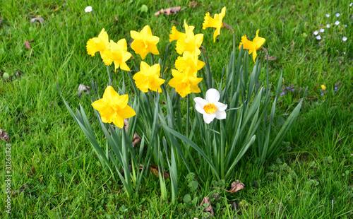 Deurstickers Narcis jonquilles