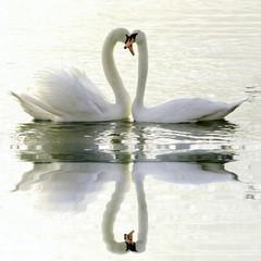 Plakat Loving Swans