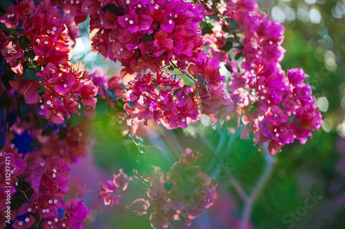 Poster Bordeaux Cherry Blossom