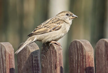 Sparrow On Wooden Fence