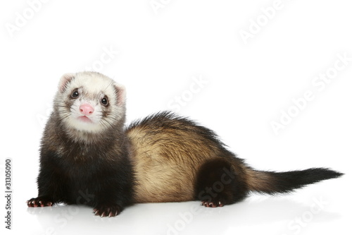 Ferret on a white background Billede på lærred