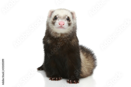 Fényképezés  Ferret on a white background