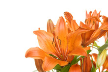 Flowers Orange Tiger Lily