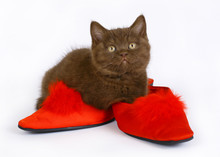 British Kitten With Red Shoes.