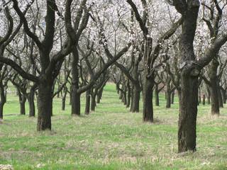 plantation of almond 3