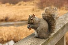 Gray Squirrel Sciurus Carolinensis