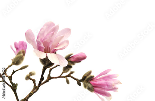 Papiers peints Magnolia Pink magnolia flowers isolated on white