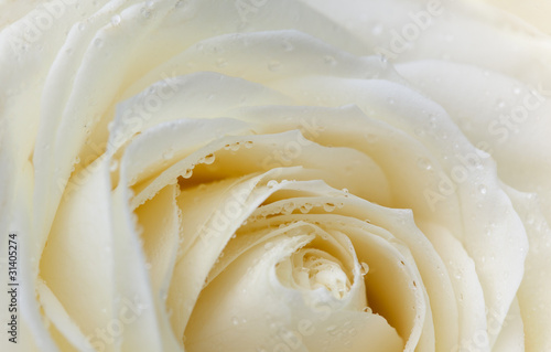 pastelowa-roza-z-kroplami-rosy