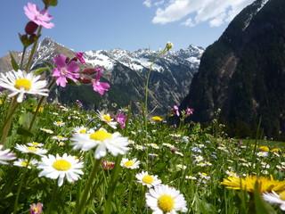 Obraz na SzkleBlumenwiese mit Gebirge im Hintergrund