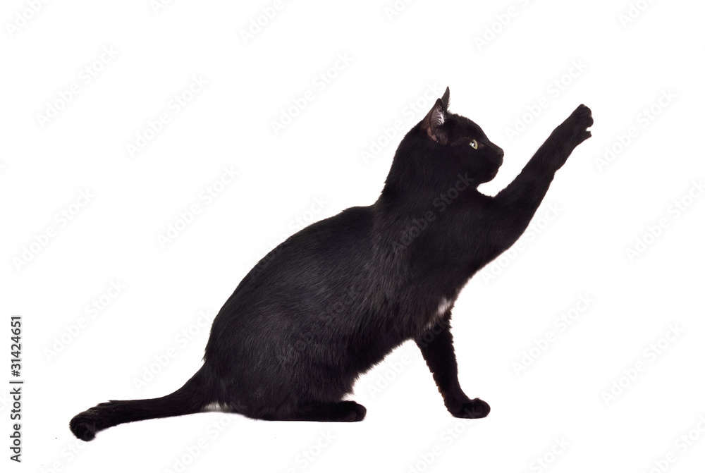 Fototapeta Black cat reaching up for toy and showing its claws silhouette