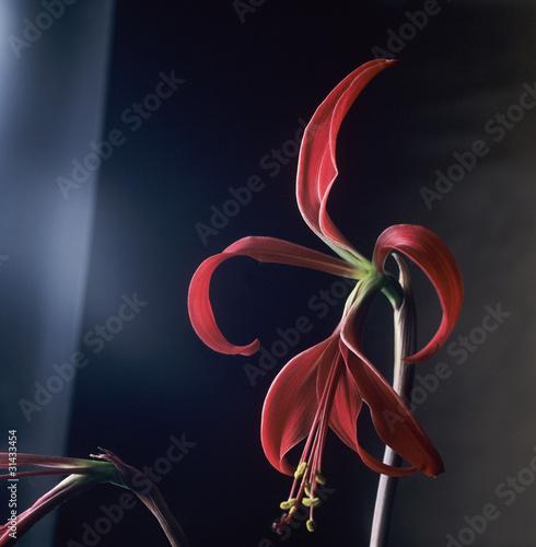 Fotografie, Obraz  Jacobean lily